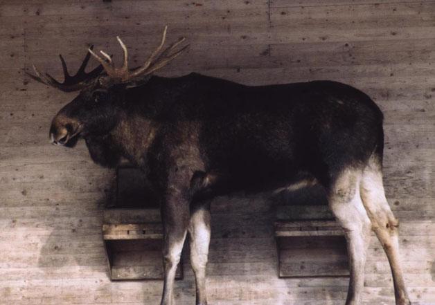 گوزن موس بزرگترین گوزن دنیا را بشناسید
