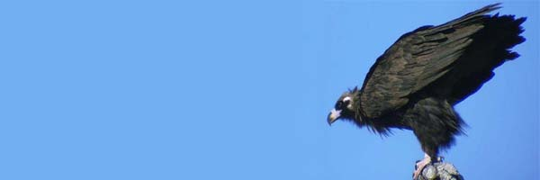 کرکس پرنده ای که از مردگان تغذیه می کند