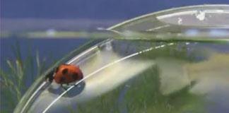 کفشدوزک زیر آب راه می رود