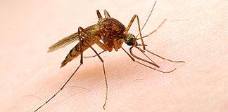 محققان : مه مانع پرواز پشه ها می شود