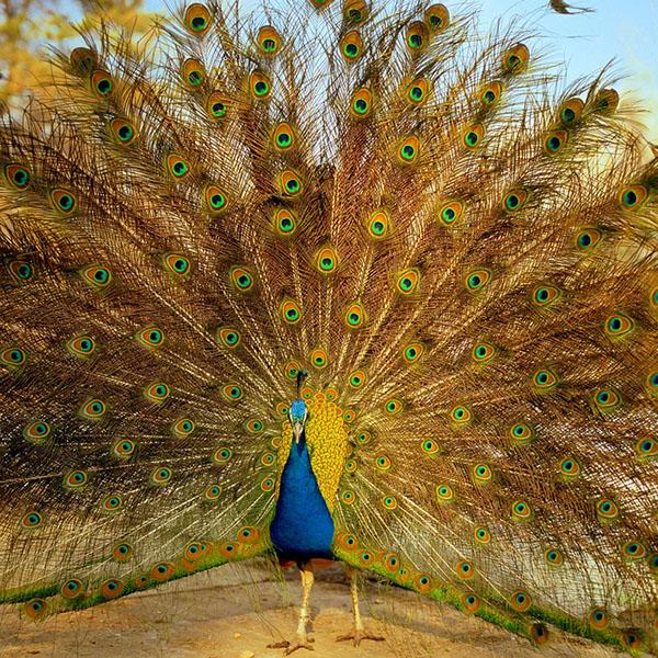 طاووس از دیوید وایت هال