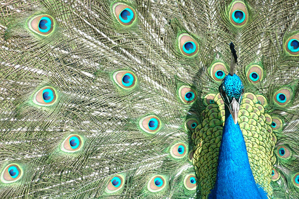 طاووس از پائو فریل