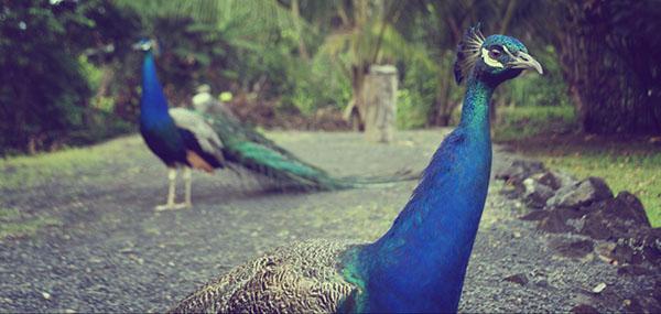 طاووس اثر چنتل بیم