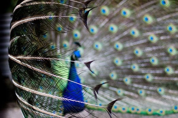 طاووس اثر جرگ تی
