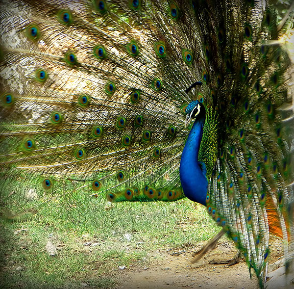 طاووس اثر حامد صابر