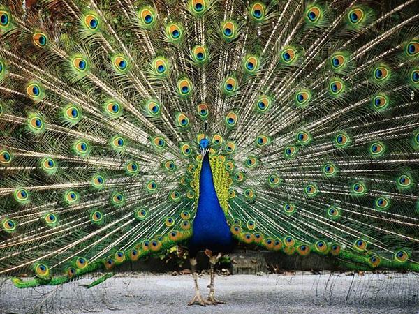 طاووس اثر ایوان تاسیک