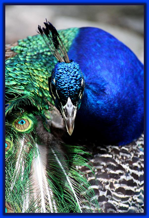 طاووس اثر لدی درگوفنلی