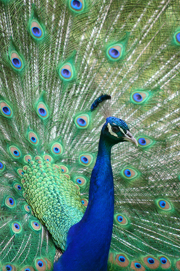 طاووس اثری از لوئیس دوکر