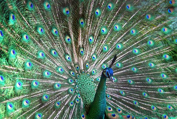 طاووس اثر لوئیس دوکر