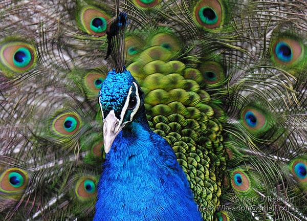 طاووس اثر مارک ودن