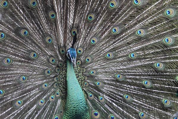 طاووس از نینا ماتیوز