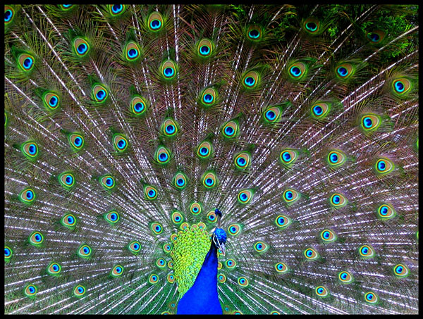 عکس طاووس بسیار زیبا