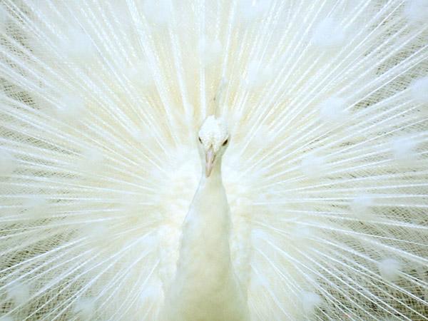 طاووس اثر شاون رسی