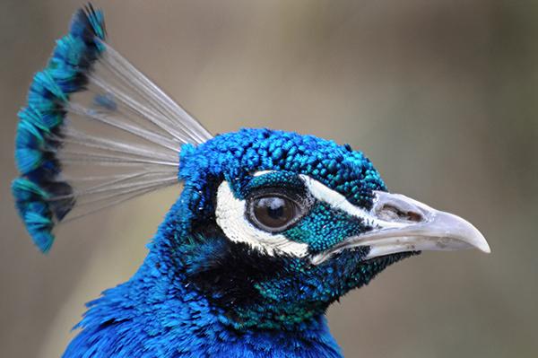 طاووس اثر تمباکو جاگور