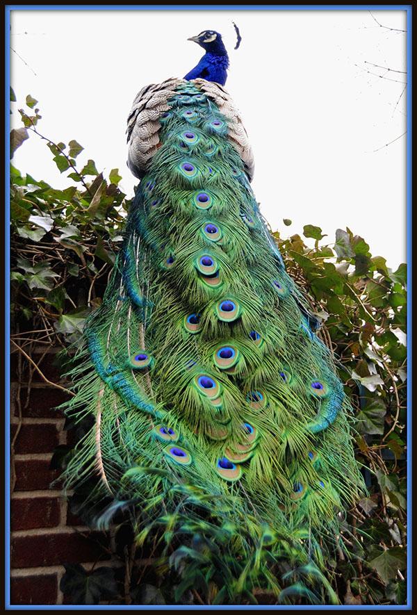 دم طاووس از تونی فیشر