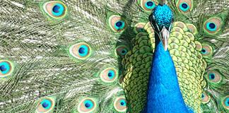 ۲۰ عکس طاووس بسیار زیبا