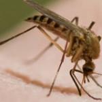 چرا پشه ها در گوش ما وزوز می کنند؟