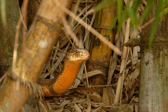 شاه کبری (King cobra)