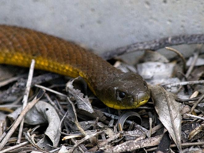 مار ببری (Tiger snake ،Notechis scutatus)