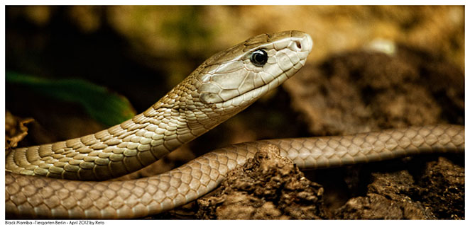 مامبای سیاه (black mamba ،common black mamba ،black-mouthed mamba)